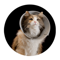 Cat wearing collar to prevent licking spey stitches